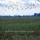 Fotos de torcaces 6
